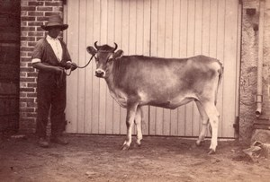 Cow Farmer Study on Jersey Island farm old Photo 1880