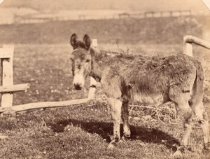 Nice Study of Donkey Farm Life France old Photo 1870