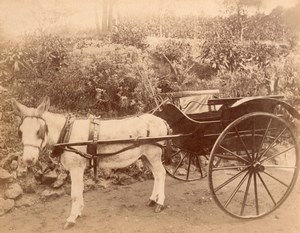 Cabriolet Donkey Harnessing France Old Photo 1870