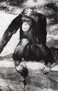 Chimpanzee Zoo Wildlife France Old Press Photo 1955
