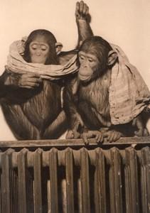 Monkeys Zoo Wildlife France Old Press Photo 1955
