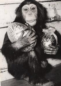 Monkey Easter Eggs Zoo Wildlife France Press Photo 1955