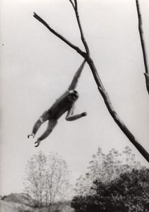 Acrobatic Gibbon Zoo Wildlife France Press Photo 1955