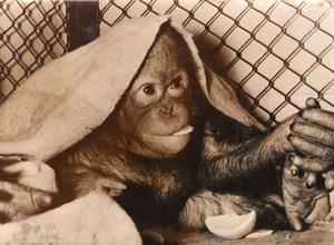 Monkey Winter Zoo Wildlife Hamburg Old Press Photo 1955