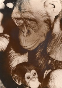 Monkey Family Zoo Wildlife Wien Old Press Photo 1955
