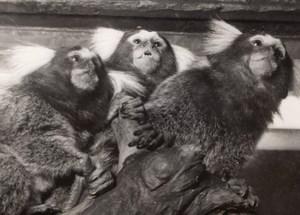 Ouistitis Monkey Zoo Wildlife France Press Photo 1955