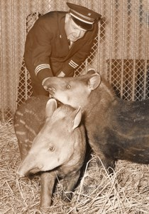 Young Tapirs Zoo Wildlife France Old Press Photo 1955