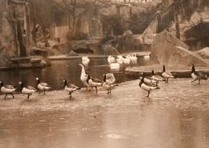 Duck Birds Winter Zoo Wildlife France Press Photo 1955