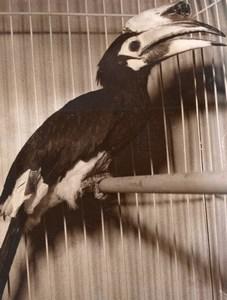Indian Horn-bill Bird Exposition France old Photo 1955