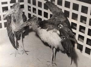 Indian Marabou Stork Exposition France Old Photo 1955