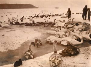 Denmark Swans Winter WildLife Old Press Photo 1955