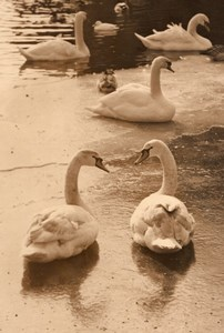 Swans Zoo Winter Wildlife France Old Press Photo 1955