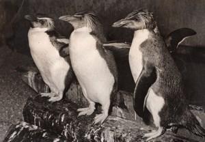 Penguins Zoo Wildlife France Old Press Photo 1955