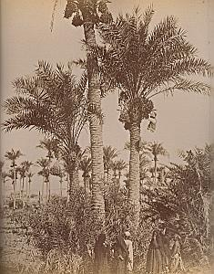 Date Harvest & Cairo Street Egypt Zangaki 2 Photos 1880