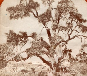 Hebron Abraham Tree Tissue Stereoview Photo 1875