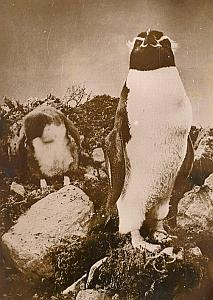 Penguins Snare Island New Zealand Wild Life Photo 1953