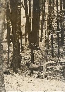 Central Europe Deer Wild Life Old Photo 1959