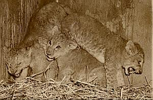 Young Lions Playing Wild Life Zoo Old Photo 1956