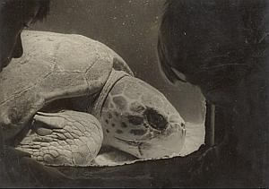 Sea Turtle arrived from Dakar Wild Life Zoo Photo 1956