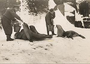 Sea Elephant Winter Wild Life Zoo Old Photo 1956