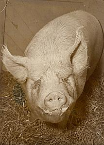 Champion Race Pig Large White Paris Old Photo 1955