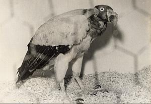 Mexican Vulture Pape Birds fair Paris Old Photo 1959