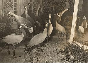 First International Birds Fair Crane Paris Photo 1955