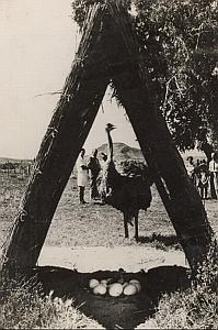 Ostrich Oudtshoor South Africa Wild Life Old Photo 1954