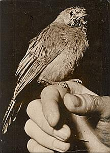 Bird on finger Wild Life Zoo France Old Photo 1950