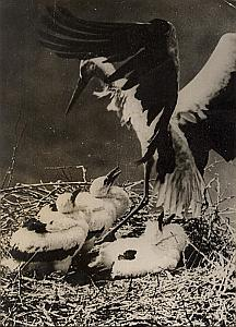 Storks Alsacian Come Back Wild Life Old Photo 1954