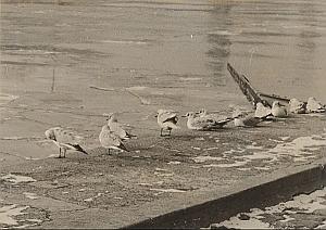 Gulls Winter Wild Life Paris Seine River Old Photo 1950