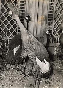 Grey Crowned Crane Bird Wild Life Zoo Old Photo 1950