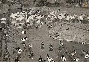 Flamingos & Ducks Winter Life Zoo Paris Old Photo 1959