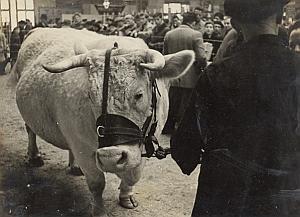 Cow Basset Type Paris Fair Exhibition Old Photo 1953