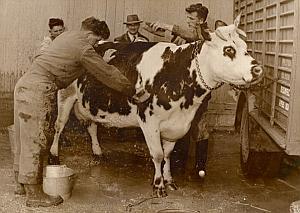 Beautiful Cow Seraphine Paris Fair Old Photo 1954