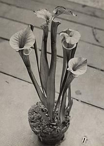Carnivora Sarracenia Flower Study Old Photo1956