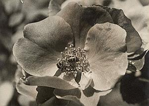 Bee & Rose Flower Study Bagatelle Paris Old Photo 1957