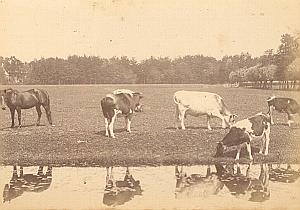 Country Study Cows Horse Netherlands old Photo 1890