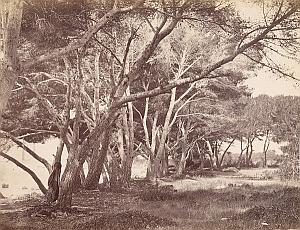 French Riviera Cannes Ile Saint Honorat Trees Old Jean Gilletta Photo 1880