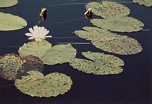 Water Lily Flower Study Color Deplechin Photo 1970