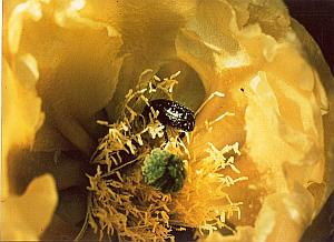 Yellow Flower Bug Study Color Deplechin Photo 1970