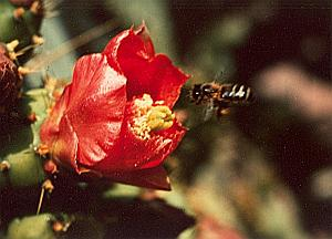 Cactus Red Flower Bee Study Color Deplechin Photo 1970