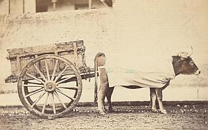 Buffalo Ox Carriage Cart Italy Old CDV Photo 1880