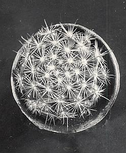 Plant Cactus Study Composition France Snapshot 1935