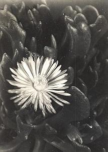 Plant Cactus Study Composition France Snapshot 1935