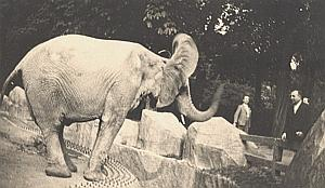 Elephant Zoo France Old Instantaneous Snapshot 1935