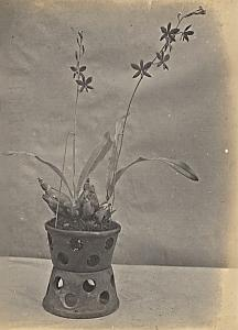 Orchid Flower Anchorage Greenhouse USA Photo 1925