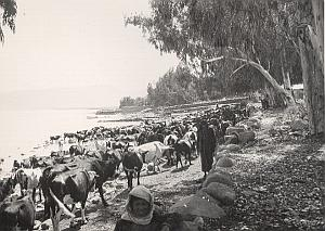 Palestine Travel Tiberiade Lake Cows Old Photo 1934
