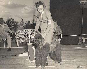 Cuba Habana Dog Competition Poodle Caniche Photo 1950