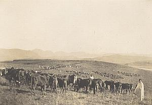 Cow Herd Pastor Madagascar Old Diez Photo 1924
